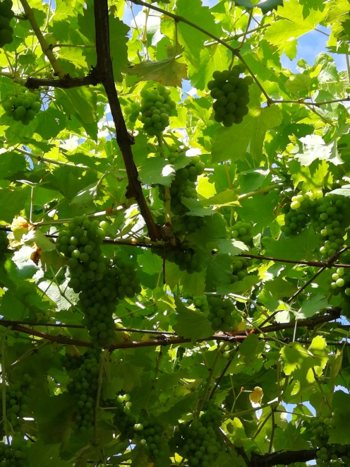 kiwis y uva.....dan sombra en la terraza